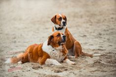 Chien Saint Bernard, St Bernard Dogs, Pet Dogs, Dogs And Puppies, Dog Cat, Pets, Dressage, Great Danes, Black And White Dog