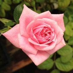 Top Quality Roses Jeanne Lajoie Over 270 Varieties of Roses