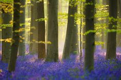 Magic Forest - Each spring, the forest of Hallerbos is one of my favorite destinations. During the blooming of the bluebells, the forest becomes magic.