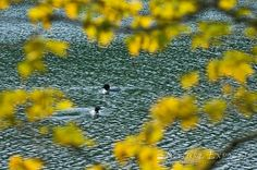 """""""LOST POND LOONS"""" in the Adirondacks"""