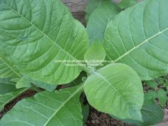 http://www.growyourownrollyourown.com/ TOBACCO SEEDS PLANTS UK #TOBACCO