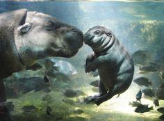 Anne ile yavru su aygırı su içinde oynuyor