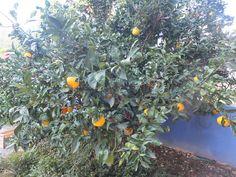 Albero d'arance rigorosamente biologico.