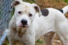 Petey is a sweet pit bull mix that was brought into the shelter because the previous owner couldn't afford to take care of him anymore. He is about 1-3 years old and is about 42lbs. He can't wait to meet you and find a new loving home.