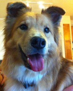 Cutest darn dog! Border collie golden retriever mix