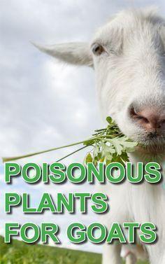 Poisonous Plants for Goats: Avoiding Dastardly Disasters - Backyard Goats Raising Farm Animals, Raising Goats, Raising Rabbits, Cabras Boer, Goat Playground, Goat Toys, Keeping Goats, Mini Goats, Goat Shelter