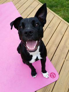 Maddyn Boxer/Lab mix (rescue dog) | Pawshake