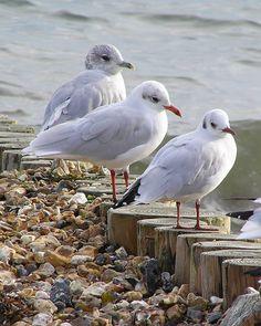 Winter Gulls: Black-headed, Mediterranean & Common Gull, Lepe, Hampshire.