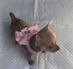 Homemade Pink Chihuahua Harness for small puppies. It looks chick and its comfortable.