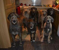Austonley Irish Wolfhounds - Austonley Irish Wolfhounds