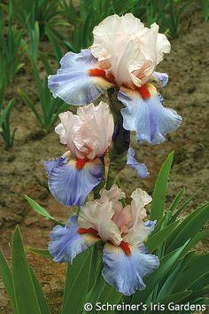 Schreiner's Iris Gardens features world-class Iris for your garden. Growing, breeding, and selling Tall Bearded Iris, Dwarf Iris, and many discount Iris collections. Pink And Blue Flowers, Iris Flowers, Exotic Flowers, Amazing Flowers, Planting Flowers, Beautiful Flowers, Belle Plante, Iris Garden, Perennials