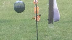 We got our Oriole!