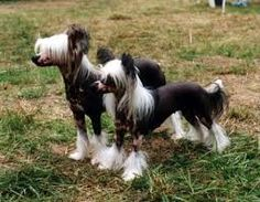 Výsledek obrázku pro chinese crested dog