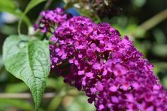 Find Out Everything You Need To Know About Your Buddleia With Our Guide, From How to Plant It To Caring For It! ✅ 42 years of experience Lilac Flowers, Colorful Flowers, Outdoor Plants, Garden Plants, Butterfly Bush Care, Flowering Bushes, Cattleya Orchid, Cactus, Gardens