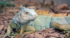 Iguana Poster featuring the photograph Iguana by Cynthia Guinn