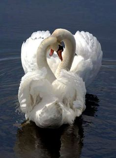 Duet Swan how beautiful and serene
