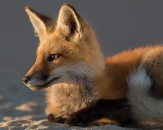 A young red fox kit basking in the late day sun, along the Cape Cod National Seashore, near Provincetown MA.