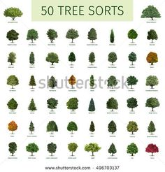 Similar Images, Stock Photos & Vectors of Trees - top view. Easy to use in your landscape design projects! Types Of Birch Trees, Maple Trees Types, Trees Name In English, Landscape Architecture Drawing, Landscape Design, How To Identify Trees, Tree Leaf Identification, Apple Tree, Cherry Apple