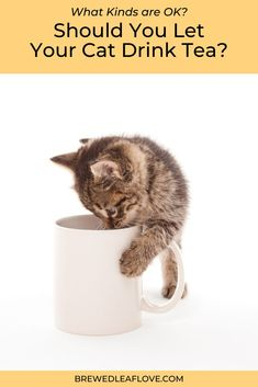 Is green tea OK for cats?   What you need to know before you share your favorite drink with your fur baby. Green Tea Supplements, Flavoured Green Tea, Cat Drinking, Tea Benefits, Green Tea Extract, How To Make Tea, Tea Recipes, Fur Babies, Cats