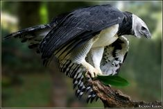 Harpy Eagle Pictures and Wallpapers Eagle Images, Eagle Pictures, Funny Animal Pictures, Cute Funny Animals, Owl Pictures, Harpy Eagle, Bald Eagle, Harpy Bird, Beautiful Birds