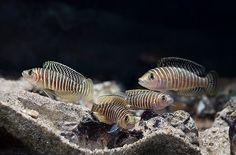 Shell Dwelling Cichlids of Lake Tanganyika Tropical Freshwater Fish, Freshwater Aquarium Fish, Tropical Aquarium, Tropical Fish, Nano Aquarium, Lake Tanganyika, Cool Fish, Paludarium, African Cichlids