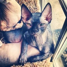 Reduced Prices! TICA Sphynx Kittens For Sale