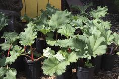 Will Rhubarb Grow In Containers – Tips For Growing Rhubarb In Pots If you've seen a rhubarb plant in someone's garden, then you know the plant can become huge. So what if you love rhubarb and would like to grow it but have limited space? This article will Strawberry Garden, Strawberry Plants, Grow Strawberries, Organic Gardening, Gardening Tips, Urban Gardening, Rhubarb Plants, Rhubarb Rhubarb, Growing Rhubarb