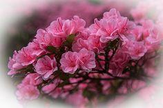 Pink Azalea blooms. #azalea #pink #bloom #spring #flower