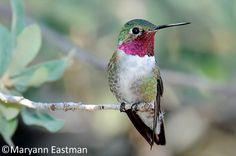 Adult Male Broad-tailed Hummingbird - Adult males are distinctive among western hummingbirds in having the combination of a green crown and rose-red gorget. Also note the pale face (black in the similar Ruby-throated male), and white chin. Males have specially modified outer primaries that produce an insect-like trill in flight.