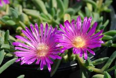 My drought-tolerant parking strip will be featured on the Garden Time television show at 8 a. Saturday on channel In the meantime, I've listed the plants I've put in the bed. Succulent Ground Cover, Ice Plant, Drought Tolerant, Houseplants, Beautiful Gardens, Orchids, Cactus, Succulents, Africa