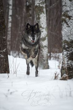 """Bounding In"" - Black Phase Grey Wolf (Canis lupus) - captive animal Holly Kuchera photo taken: Mundo Animal, My Animal, Amur Leopard, Dog Throw, Gray Aesthetic, Howl At The Moon, Wolf Love, Wolf Pictures, Beautiful Wolves"
