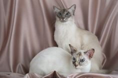 Blue Point Balinese Cat