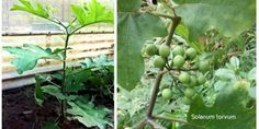 biofarm1 Eggplant, Sprouts, Perennials, Vegetables, Eggplants, Vegetable Recipes, Perennial, Veggies