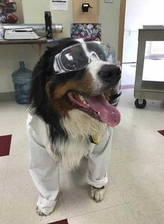 Reporting For Duty: Pups Hard At Work At Their Very Important Jobs - World's largest collection of cat memes and other animals Dog Search, Search And Rescue, Bernese Mountain, Mountain Dogs, Dogs With Jobs, Dog Words, Mini Doodle, Local Gym, Dog Games
