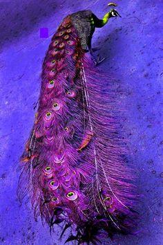 beautiful purple peacock