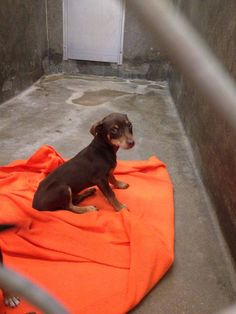 NEXT on DEATH ROW - Chihuahua male 2 months old   Kennel A10  Available NOW****$35 to adopt   LOCATED AT ODESSA TEXAS ANIMAL CONTROL. https://www.facebook.com/photo.php?fbid=717289924961915&set=pb.248355401855372.-2207520000.1390317068.&type=3&theater