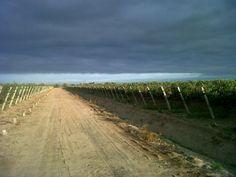 Bonarda vineyards at Los Alamos Mendoza, Harvest, Vineyard, Country Roads, Argentina