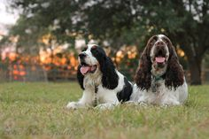 Play hard, pant harder! <3 @lonestarspringers @englishspringerspaniels @europeanenglishspringerspaniels