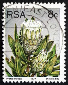 Picture of SOUTH AFRICA - CIRCA a stamp printed in South Africa shows Forest Sugarbush, Protea Mundii, Flowering Shrub, circa 1977 stock photo, images and stock photography. Postage Stamp Collection, South African Art, Stamp Printing, Flower Stamp, Old Coins, Vintage Stamps, African Animals, African History, Stamp Collecting