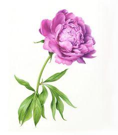 Цветочное. Ботанические иллюстрации Karen Kluglein, США. Обсуждение на LiveInternet - Российский Сервис Онлайн-Дневников