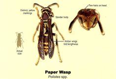 Paper Wasp (Polistinae)  | Ninnescah Biology Field Station, Kansas