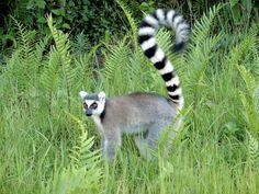 Animales de la selva tropical, lémur,...
