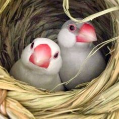 or Java Rice Finches in their nest. Puffin x Rice Finch -- maybe they are Puffed Rice. Pretty Birds, Beautiful Birds, Animals Beautiful, Exotic Birds, Colorful Birds, All Birds, Love Birds, Cute Creatures, Beautiful Creatures