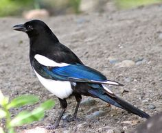 Black-billed Magpie, photo by Ty Baumann / Ty and Ida On the Road (tynida.blogspot.com)