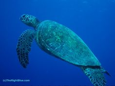 Hawaiian Green Sea Turtle (Chelonia mydas) at Honaunau Bay, Hawaii - photo by B N Sullivan for TheRightBlue.com