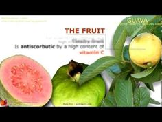 Guava benefits. Guava tree, fruit and leaves