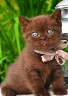 I've not seen many chocolate coloured kitties and this one is totally adorable.