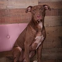 Hagerstown, Maryland - American Pit Bull Terrier. Meet Joli, a for adoption. https://www.adoptapet.com/pet/19957427-hagerstown-maryland-american-pit-bull-terrier-mix