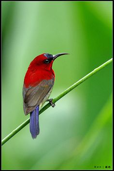 Crimson Sunbird. Tropical southern Asia from India to Indonesia and the Philippines. It is the national bird of Singapore