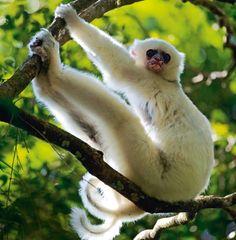 Lemur or other primate? Ape Monkey, Old World, Funny Animals, Wildlife, Madagascar, Lemurs, Nice Things, Monkeys, Cousins